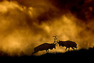 Red deer stags fighting at dusk. As sun sank behind the horizon, dark storm clouds had gathered, creating some of the most dramatic lighting I have ever witnessed. I placed these fighting stags on the horizon and metered from the sky to create a silhouette.
