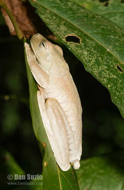 Rosenberg's Treefrog (Gladiator Frog), Hypsiboas rosenbergi (formerly Hyla rosenbergi), in Manuel Antonio National Park, Costa Rica