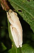 Rosenberg's Treefrog, Hypsiboas rosenbergi