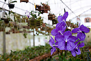 Venda Nova do Imigrante_ES, Brasil...Detalhe da orquidea azul em Venda Nova do Imigrante...Detail of a blue orchid in Venda Nova do Imigrante...Foto: LEO DRUMOND / NITRO
