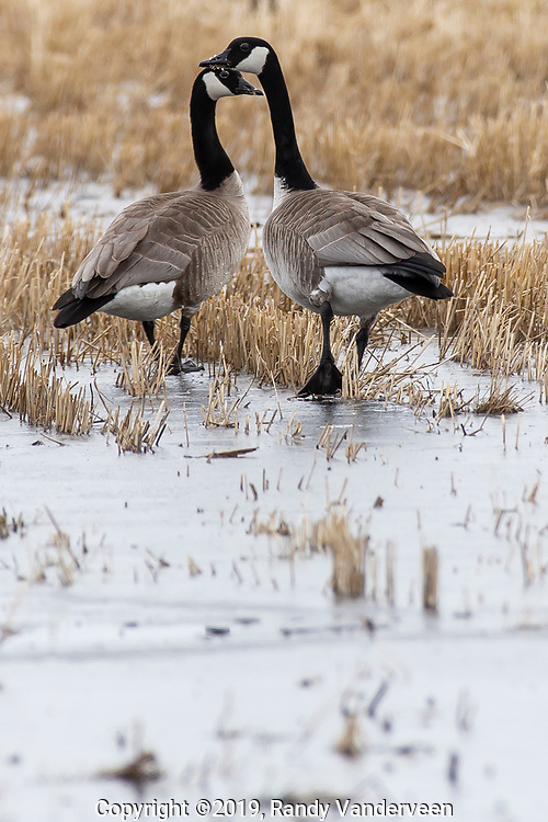 Photo Randy Vanderveen<br /> 2019-04-02<br /> Grande Prairie, Alberta<br /> Canada geese —like snowbirds of the human variety — are beginning to flock back to the Peace River country after taking advantage of milder conditions in the South.