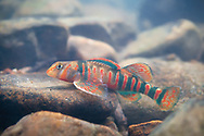 Candy Darter<br /> <br /> Isaac Szabo/Engbretson Underwater Photography
