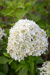 Hydrangea paniculata 'Skyfall' syn. 'Frenne'