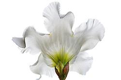 Beaumontia grandiflora, Easter Lily Vine#3