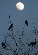 Middletown, New York  - Crows (Corvus brachyrhynchos) perch on tree branches with the moon in the background at twilight on Feb. 4, 2012.