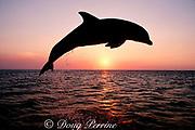 bottlenose dolphin, Tursiops truncatus, (c-r)<br /> Caribbean