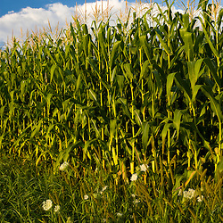 A corn field on a  farm in Pepperell, Massachusetts.