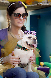 31 January 2016. New Orleans, Louisiana.<br /> Mardi Gras Dog Parade. A French Bulldog. The Mystic Krewe of Barkus winds its way around the French Quarter with dogs and their owners dressed up for this year's theme, 'From the Doghouse to the Whitehouse.' <br /> Photo©; Charlie Varley/varleypix.com