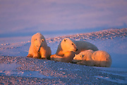 Polar bear in arctic environment, sow with cubs