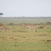 Cheetah (Acinonyx jubatus) Three brothers hunitng, Thomson Gazelles (Gazella thomsonii) scatter behind them. Masai Mara Game Reserve, Kenya, Africa