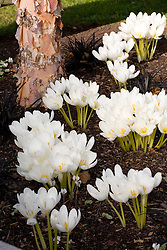 Colchicum speciosum album planted with Ophiopogon planiscapus 'Nigrescens'