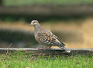 Oriental Turtle Dove - Streptopelia orientalis - 1st winter