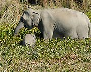 Female wild Indian Elephant (Elephas maximus indicus) with a baby eating water plants at the margins of a lake. Kaziranga National Park, Assam, India. 23 November 2007