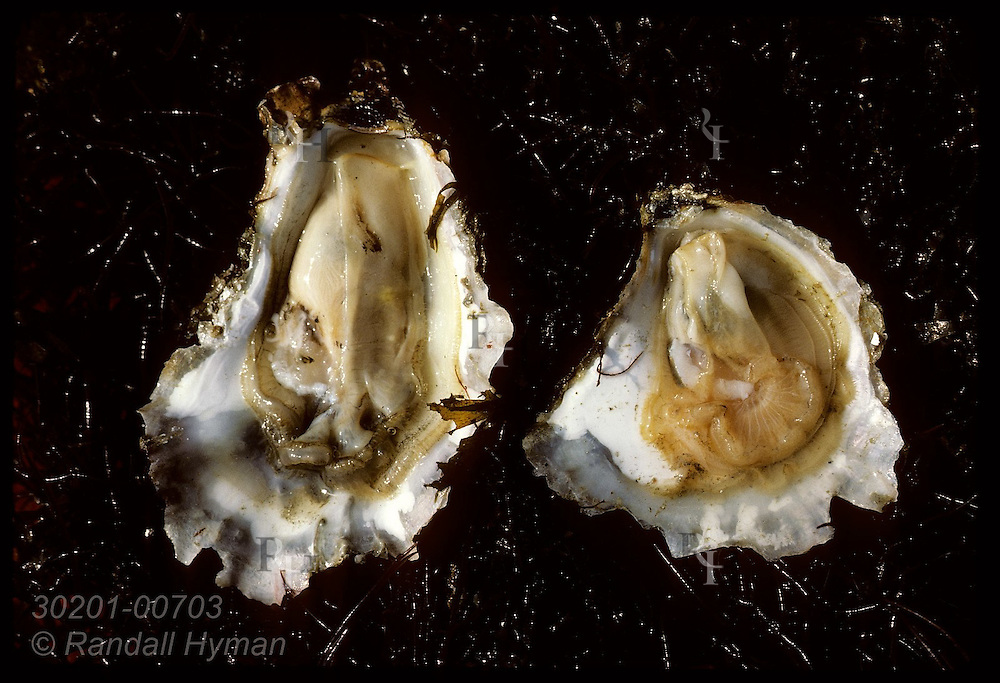 Comparison of opened Japanese oyster (left) and European flat oyster (right). France