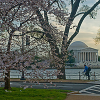 A cylclist rides below blooming cherry trees that frame the Jefferson Memorial and Tidal Basin in Washington, D.C.