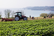 Farmers out in the fields picking and harvesting the new crop of Jersey Royal potatoes with a view out to Archirondel and the east coast of Jersey, CI