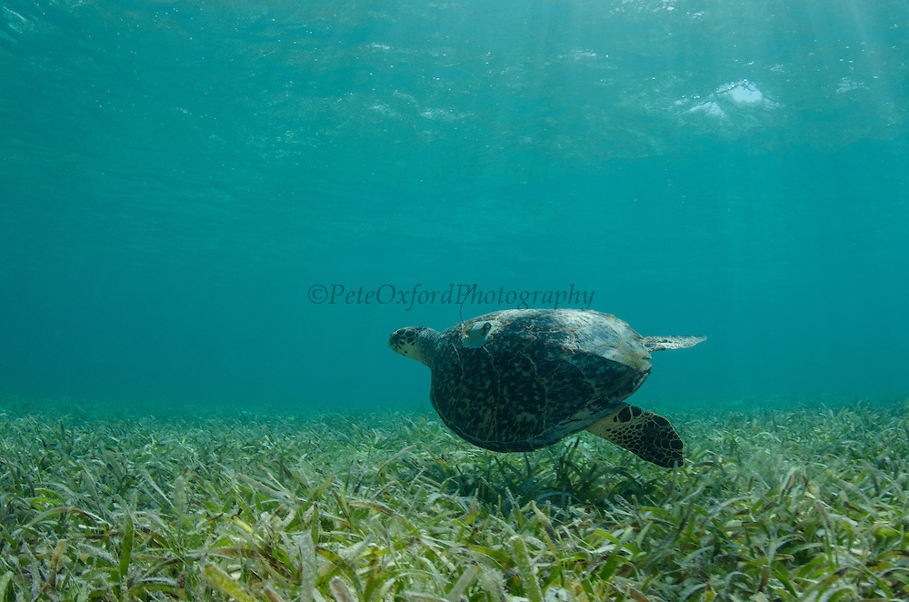 Hawksbill Turtle with Satellite tag (Eretmochelys Imbricata) for monitoring<br /> MAR Alliance<br /> Lighthouse Reef Atoll<br /> Belize<br /> Central America