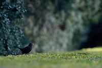 Blackbird, Turdus merula, in Vatican's garden, Rome, Italy
