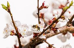 THEMENBILD - eine Biene bestäubt Marillenblüten eines blühenden Marillenbaumes, aufgenommen am 18. April 2018 in Kaprun, Österreich // a bee pollinates apricot blossoms of a flowering apricot tree, Kaprun, Austria on 2018/04/18. EXPA Pictures © 2018, PhotoCredit: EXPA/ JFK