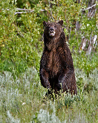 Standing Grizzly Bear, 610, in  Grand Teton National Park