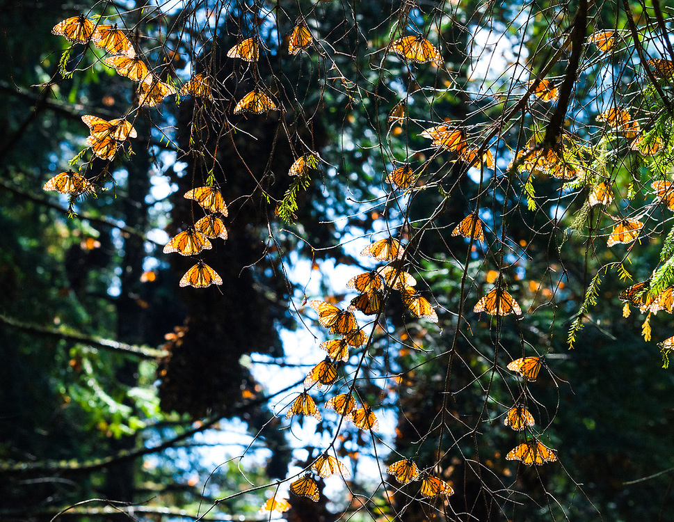 Monarchs alight on sun drenched branches.