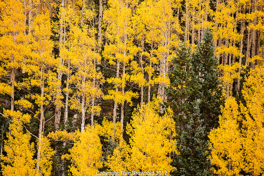 Aspens and Fir tree in the Inner Basin of the San Francisco Peaks