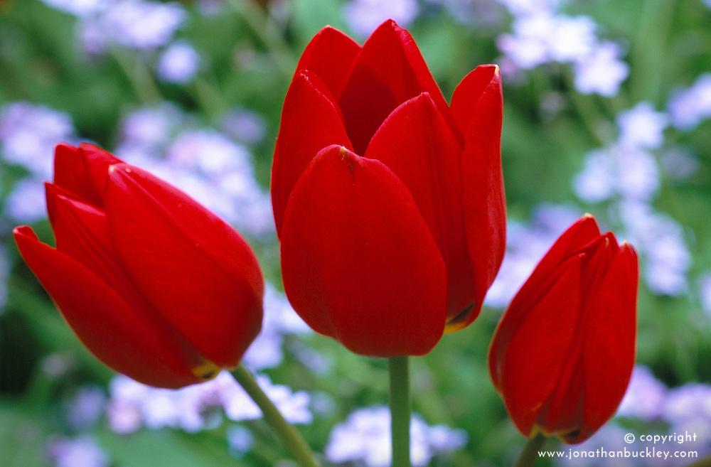 Tulip 'Red Georgette'