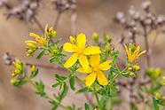 Hypericaceae (St. John's Wort Family)