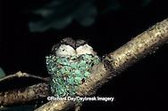 01162-021.09 Ruby-throated Hummingbird (Archilochus colubris) nestlings, Marion Co.   IL