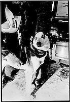 Veterinarian check, UP 200 Sled Dog Race, 1993, Chatham, Michigan
