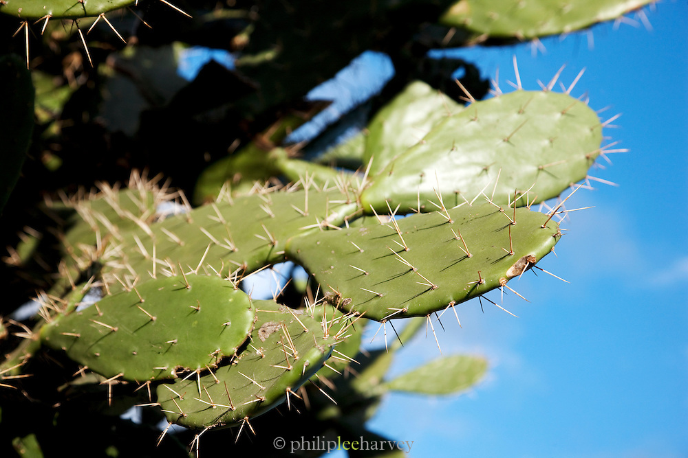 Cactus branches in the Spiny Forest, near Fort Dauphin, Madagascar