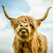 Highland cow with long horns and tongue