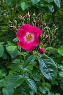 "Rambler Rose ""American Pillar"" flowers and buds"