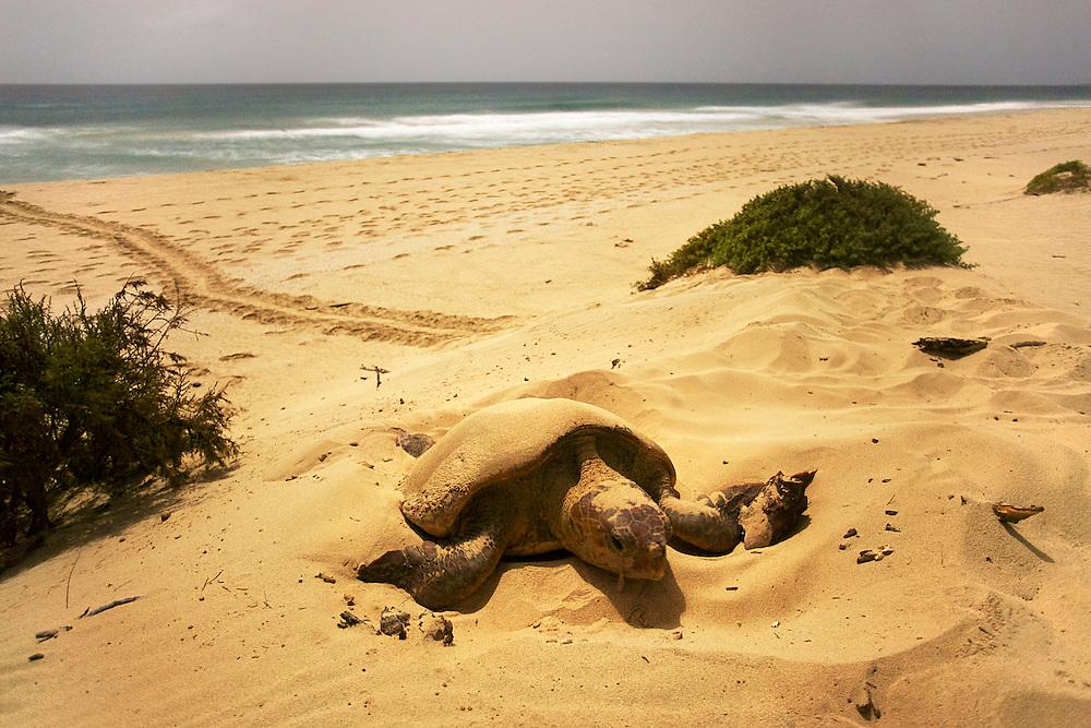 08/Septiembre/2014 Cabo Verde. Boa Vista.<br /> Momento de desovación de una hembra de tortuga Carettha carettha durante la noche en la playa de Joao Barrosa.<br /> <br /> © JOAN COSTA
