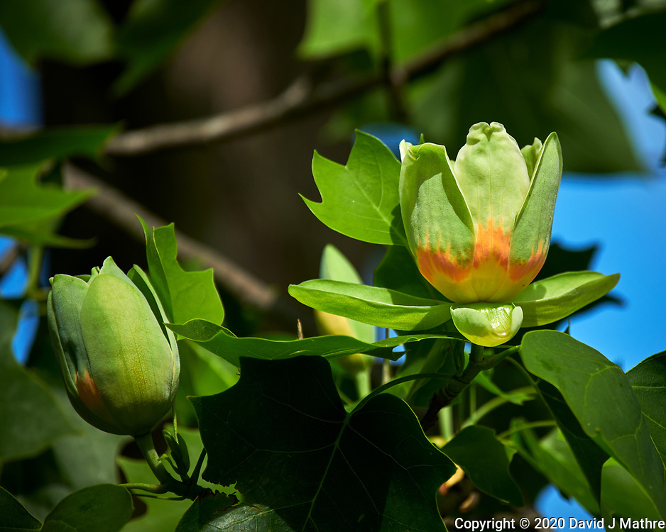 Tulip Tree Flower. Image taken with a Nikon D850 camera and 70-300 mm VR lens.