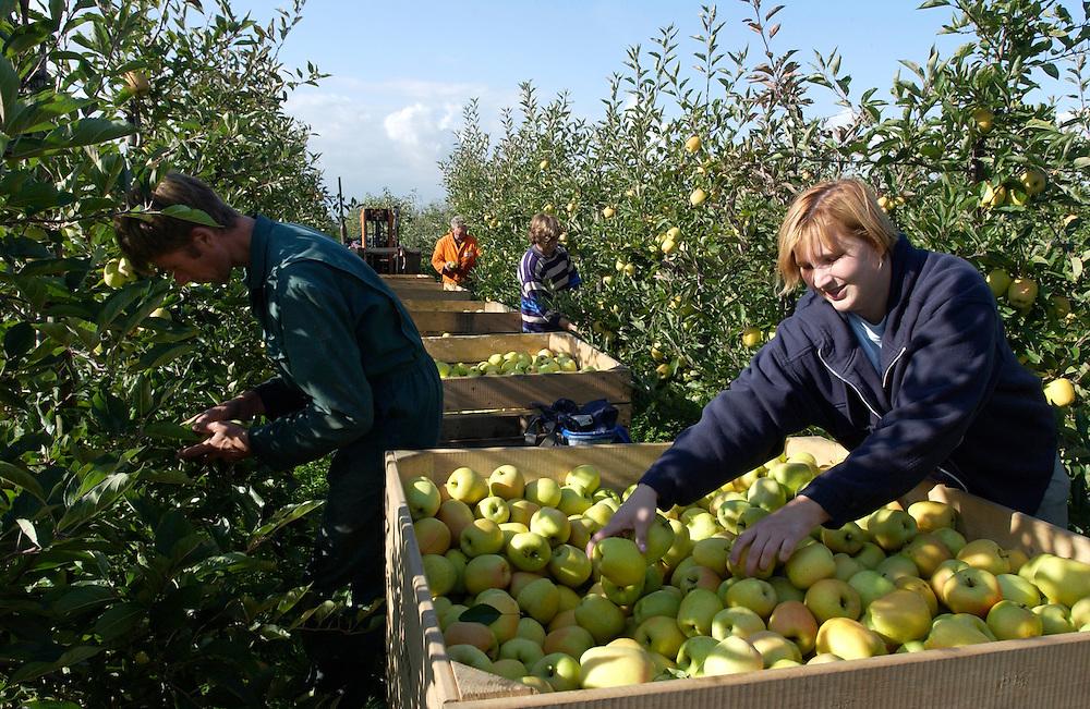 Nederland, Houten, Schalkwijk, 4 oktober 2002.Appels plukken in boomgaard van  fruitteler Gijsbert Middelweerd. .Fruitteelt...Foto (c) Michiel Wijnbergh/Hollandse Hoogte