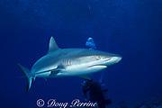 gray reef shark, Carcharhinus amblyrhynchos, and diver, Bikini Atoll, Marshall Islands, Micronesia ( Central Pacific Ocean ) (dm)