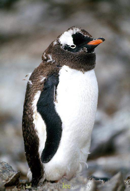 Gentoo penguin, Antarctic Peninsula, Antarctica