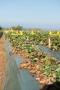 UC Santa Cruz trial farm for organic strawberries