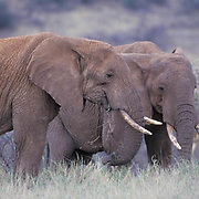 African Elephant, (Loxodonta africana)  Pair of bulls. Africa.