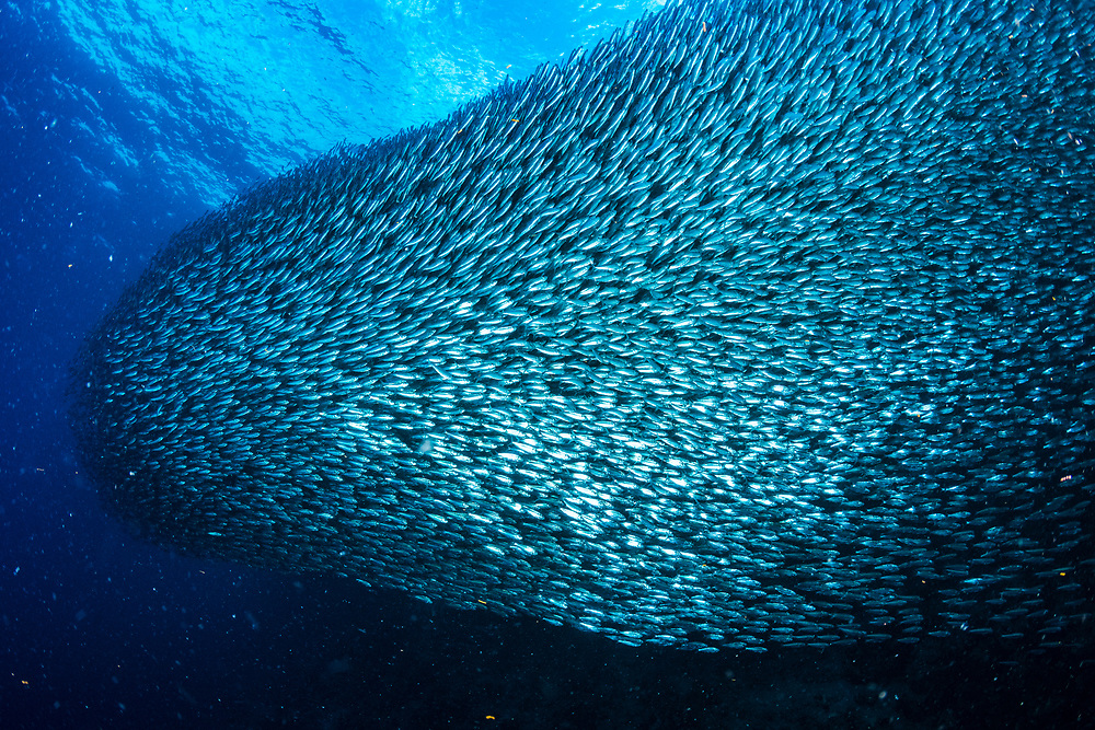 A large shoal of sardines (Clupeinae) have made a beach off Moalboal, Philippines their year-round home.