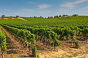 Vineyard, Preignac, Gironde region of France. The vineyard is in the grounds of the Chateau de Malle.