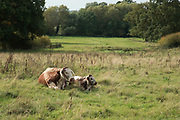 Cow and her calf in British countryside in September near to Coughton, England, United Kingdom.