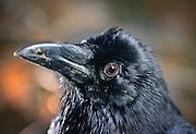 A common raven (Corvus corax) portrait. Captive