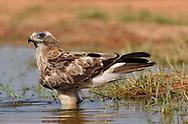 Booted Eagle - Hieraaetus pennatus