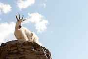 A mountain goat looks down from a rockk ledge. Taken in Glacier National Park in Montana. Missoula Photographer, Missoula Photographers, Montana Pictures, Montana Photos, Photos of Montana