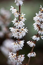 Abeliophyllum distichum - White forsythia