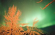 Alaska.  The Northern Lights (Aurora Borealis) contrast with snow-covered Cottonwood (Populus balsamifera).