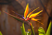Extreme close up of a Strelitzia flower AKA Bird of Paradise