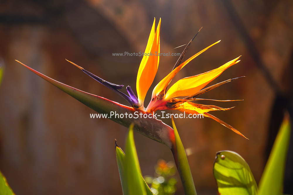 Extreme close up of a Strelitzia flower AKA Bird of Paradise